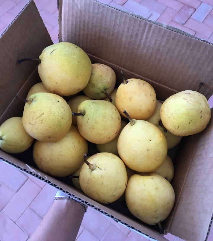 One of the boxes of Asian pears we were gifted by neighbors.