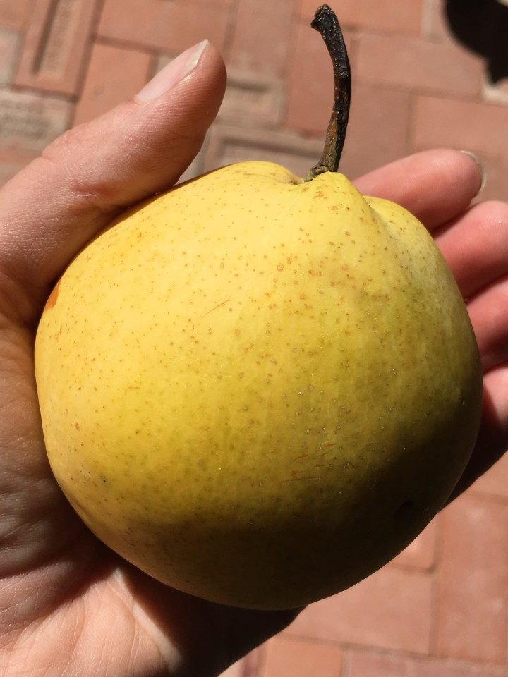 One of the larger Asian pears.