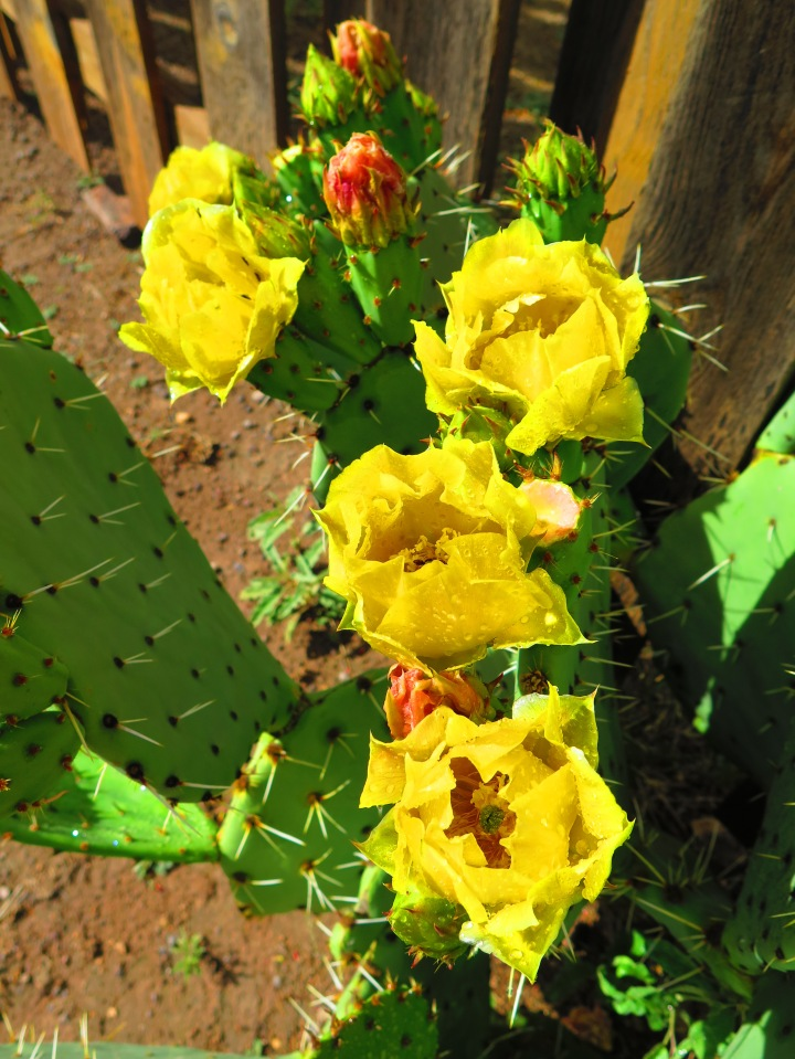 A Prickly Pear cactus in bloom.