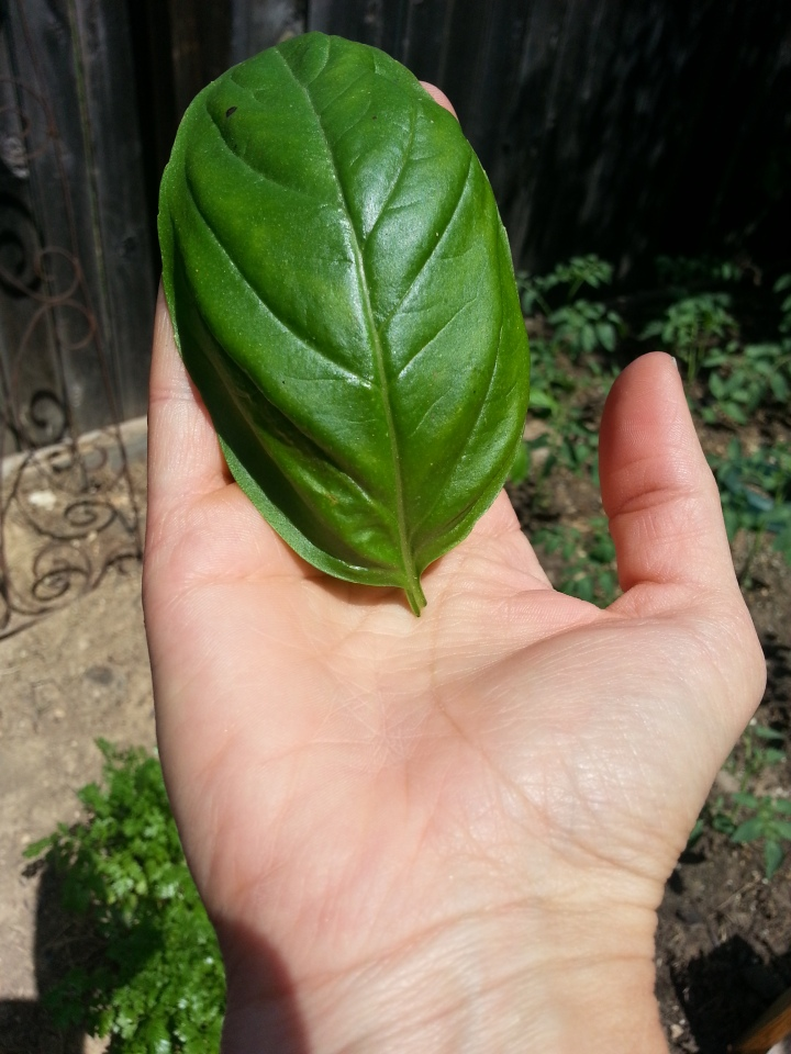 One leaf from my basil plants of the past nearly filled my hand.